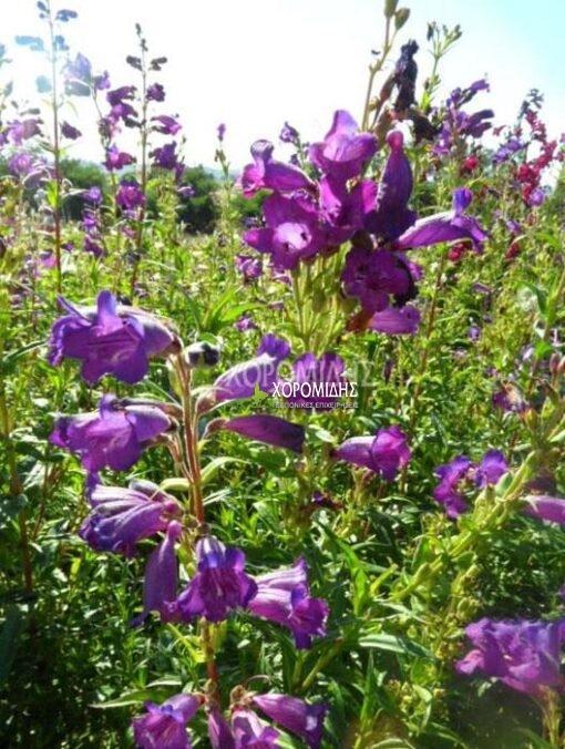 PENSTEMON RUSSIAN RIVER (ΠΕΝΣΤΗΜΩΝ) Ποώδη| Φυτώρια/Γεωπονικές Επιχειρήσεις Χορομίδης: γλάστρες, φυτά, καρποφόρα, αειθαλή, φυτοχώματα, λιπάσματα, εργαλεία και είδη κήπου | Horomidis Agronomic Corp. Flower pots, plants, garden utensils and supplies, evergreens, fruit trees, fertilizer, soil