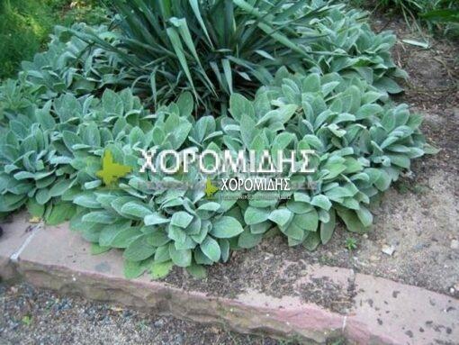 STACHYS BYZANTINA COTTON BALL (ΣΤΑΧΥΣ) Ποώδη  Φυτώρια/Γεωπονικές Επιχειρήσεις Χορομίδης: γλάστρες, φυτά, καρποφόρα, αειθαλή, φυτοχώματα, λιπάσματα, εργαλεία και είδη κήπου   Horomidis Agronomic Corp. Flower pots, plants, garden utensils and supplies, evergreens, fruit trees, fertilizer, soil