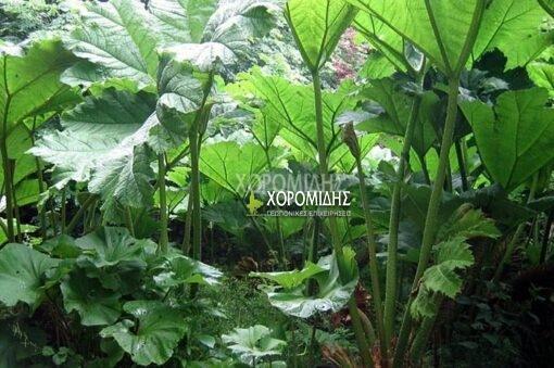 GUNNERA MANICATA (ΓΚΟΥΝΕΡΑ) Ποώδη| Φυτώρια/Γεωπονικές Επιχειρήσεις Χορομίδης: γλάστρες, φυτά, καρποφόρα, αειθαλή, φυτοχώματα, λιπάσματα, εργαλεία και είδη κήπου | Horomidis Agronomic Corp. Flower pots, plants, garden utensils and supplies, evergreens, fruit trees, fertilizer, soil
