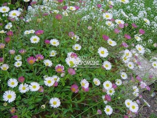 ERIGERON KARVINSKIANUS (ΕΡΙΓΕΡΟ), Ποώδη  Φυτώρια/Γεωπονικές Επιχειρήσεις Χορομίδης: γλάστρες, φυτά, καρποφόρα, αειθαλή, φυτοχώματα, λιπάσματα, εργαλεία και είδη κήπου   Horomidis Agronomic Corp. Flower pots, plants, garden utensils and supplies, evergreens, fruit trees, fertilizer, soil