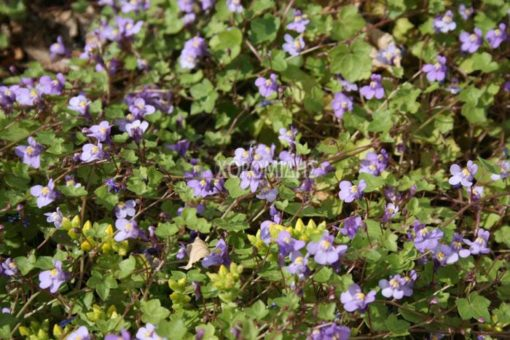 CYMBALARIA MURALIS (ΚΥΜΒΑΛΑΡΙΑ), Ποώδη| Φυτώρια/Γεωπονικές Επιχειρήσεις Χορομίδης: γλάστρες, φυτά, καρποφόρα, αειθαλή, φυτοχώματα, λιπάσματα, εργαλεία και είδη κήπου | Horomidis Agronomic Corp. Flower pots, plants, garden utensils and supplies, evergreens, fruit trees, fertilizer, soil