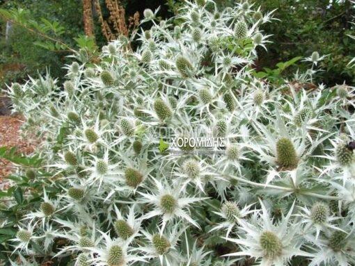 ERYNGIUM GAGANTEUM (ΕΡΥΓΚΙΟ), Ποώδη| Φυτώρια/Γεωπονικές Επιχειρήσεις Χορομίδης: γλάστρες, φυτά, καρποφόρα, αειθαλή, φυτοχώματα, λιπάσματα, εργαλεία και είδη κήπου | Horomidis Agronomic Corp. Flower pots, plants, garden utensils and supplies, evergreens, fruit trees, fertilizer, soil