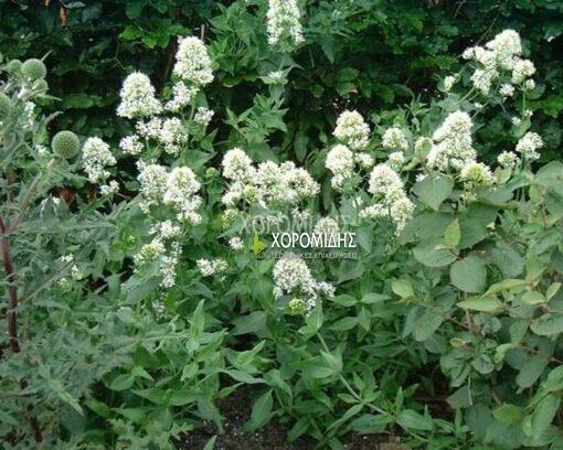 CENTRANTHUS RUBER ALBUS (ΣΕΝΤΡΑΝΘΟΣ ΛΕΥΚΟΣ), Ποώδη| Φυτώρια/Γεωπονικές Επιχειρήσεις Χορομίδης: γλάστρες, φυτά, καρποφόρα, αειθαλή, φυτοχώματα, λιπάσματα, εργαλεία και είδη κήπου | Horomidis Agronomic Corp. Flower pots, plants, garden utensils and supplies, evergreens, fruit trees, fertilizer, soil