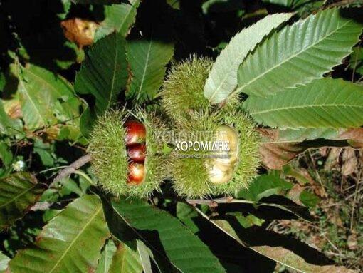 CASTANEA SATIVA(ΚΑΣΤΑΝΙΑ), Καρποφόρο δέντρο | Φυτώρια/Γεωπονικές Επιχειρήσεις Χορομίδης: γλάστρες, φυτά, καρποφόρα, αειθαλή, φυτοχώματα, λιπάσματα, εργαλεία και είδη κήπου | Horomidis Agronomic Corp. Flower pots, plants, garden utensils and supplies, evergreens, fruit trees, fertilizer, soil