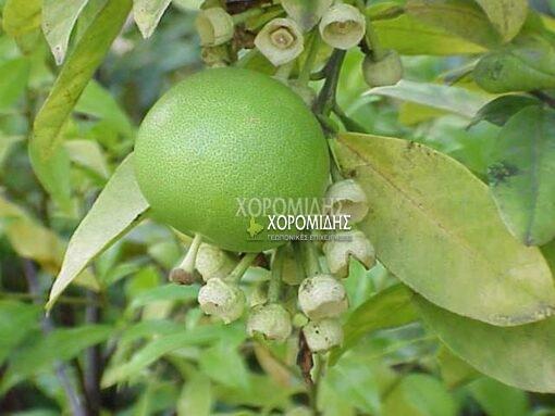 CITRUS GRANDIS(ΦΡΑΠΑ), Καρποφόρο δέντρο | Φυτώρια/Γεωπονικές Επιχειρήσεις Χορομίδης: γλάστρες, φυτά, καρποφόρα, αειθαλή, φυτοχώματα, λιπάσματα, εργαλεία και είδη κήπου | Horomidis Agronomic Corp. Flower pots, plants, garden utensils and supplies, evergreens, fruit trees, fertilizer, soil