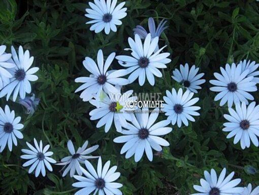 DIMORPHOTHECA ECKLONIS (ΟΣΤΕΟΣΠΕΡΜΑ Η ΔΙΜΟΡΦΟΘΗΚΗ), Ποώδη| Φυτώρια/Γεωπονικές Επιχειρήσεις Χορομίδης: γλάστρες, φυτά, καρποφόρα, αειθαλή, φυτοχώματα, λιπάσματα, εργαλεία και είδη κήπου | Horomidis Agronomic Corp. Flower pots, plants, garden utensils and supplies, evergreens, fruit trees, fertilizer, soil