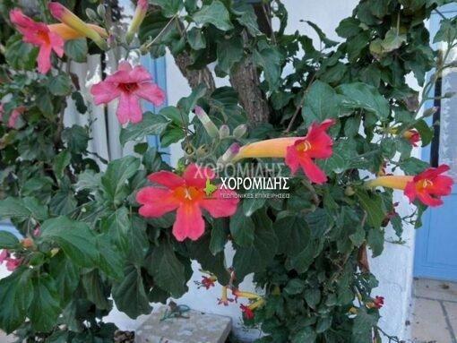 ΒIGNONIA CHERERE(ΜΠΙΓΚΟΝΙΑ ΤΣΕΡΕΡΕ), Καρποφόρο δέντρο | Φυτώρια/Γεωπονικές Επιχειρήσεις Χορομίδης: γλάστρες, φυτά, καρποφόρα, αειθαλή, φυτοχώματα, λιπάσματα, εργαλεία και είδη κήπου | Horomidis Agronomic Corp. Flower pots, plants, garden utensils and supplies, evergreens, fruit trees, fertilizer, soil