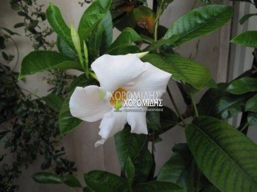 MANDEVILLA SPLENDENS(ΔΙΠΛΑΔΕΝΙΑ), Καρποφόρο δέντρο | Φυτώρια/Γεωπονικές Επιχειρήσεις Χορομίδης: γλάστρες, φυτά, καρποφόρα, αειθαλή, φυτοχώματα, λιπάσματα, εργαλεία και είδη κήπου | Horomidis Agronomic Corp. Flower pots, plants, garden utensils and supplies, evergreens, fruit trees, fertilizer, soil