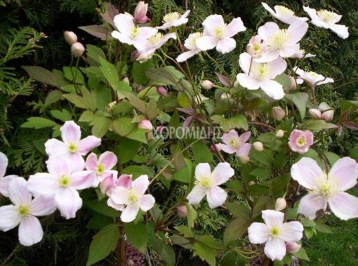 CLEMATIS MONTANA RUBENS(ΚΛΗΜΑΤΙΔΑ), Καρποφόρο δέντρο   Φυτώρια/Γεωπονικές Επιχειρήσεις Χορομίδης: γλάστρες, φυτά, καρποφόρα, αειθαλή, φυτοχώματα, λιπάσματα, εργαλεία και είδη κήπου   Horomidis Agronomic Corp. Flower pots, plants, garden utensils and supplies, evergreens, fruit trees, fertilizer, soil