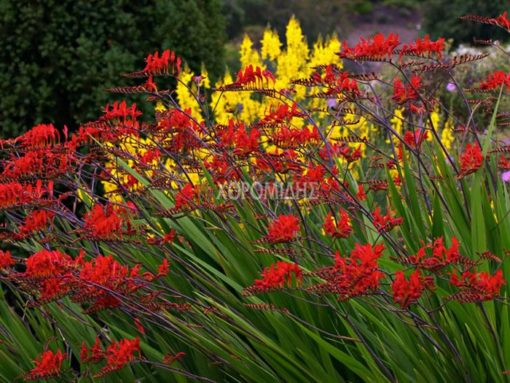 CROCOSMIA LUCIFER (ΚΡΟΚΟΣΜΙΑ), Ποώδη| Φυτώρια/Γεωπονικές Επιχειρήσεις Χορομίδης: γλάστρες, φυτά, καρποφόρα, αειθαλή, φυτοχώματα, λιπάσματα, εργαλεία και είδη κήπου | Horomidis Agronomic Corp. Flower pots, plants, garden utensils and supplies, evergreens, fruit trees, fertilizer, soil