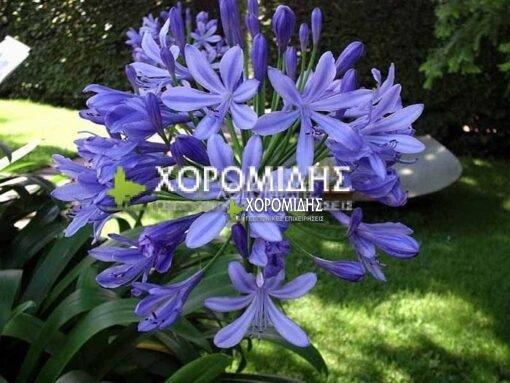 AGAPANTHUS AFRICANUS BLUE (ΑΓΑΠΑΝΘΟΣ ΜΠΛΕ), Ποώδη| Φυτώρια/Γεωπονικές Επιχειρήσεις Χορομίδης: γλάστρες, φυτά, καρποφόρα, αειθαλή, φυτοχώματα, λιπάσματα, εργαλεία και είδη κήπου | Horomidis Agronomic Corp. Flower pots, plants, garden utensils and supplies, evergreens, fruit trees, fertilizer, soil