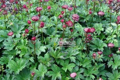 ASTRANTIA MAJOR LARS (ΑΣΤΡΑΝΤΙΑ), Ποώδη| Φυτώρια/Γεωπονικές Επιχειρήσεις Χορομίδης: γλάστρες, φυτά, καρποφόρα, αειθαλή, φυτοχώματα, λιπάσματα, εργαλεία και είδη κήπου | Horomidis Agronomic Corp. Flower pots, plants, garden utensils and supplies, evergreens, fruit trees, fertilizer, soil
