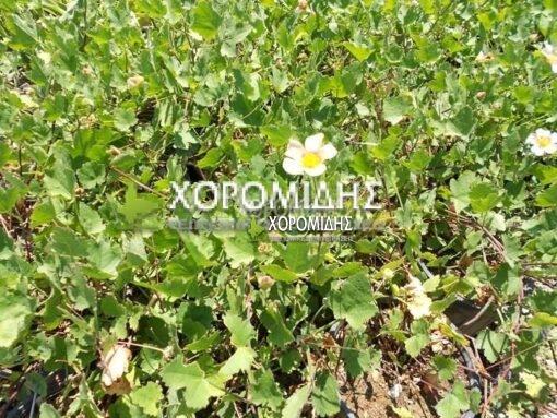 MALVASTRUM LATERITIUM (ΜΑΛΒΑΣΤΡΟΥΜ) Ποώδη| Φυτώρια/Γεωπονικές Επιχειρήσεις Χορομίδης: γλάστρες, φυτά, καρποφόρα, αειθαλή, φυτοχώματα, λιπάσματα, εργαλεία και είδη κήπου | Horomidis Agronomic Corp. Flower pots, plants, garden utensils and supplies, evergreens, fruit trees, fertilizer, soil