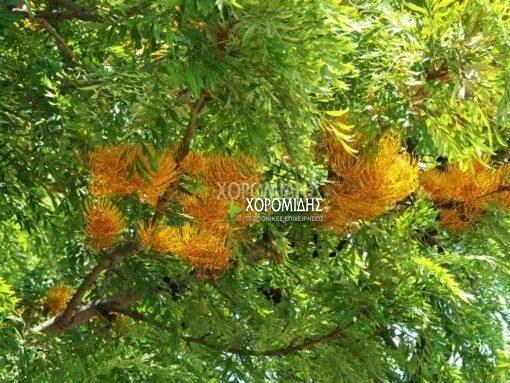GREVILLEA ROBUSTA (ΓΡΕΒΙΛΛΕΑ ΡΟΜΠΟΥΣΤΑ) Αειθαλή καλλωπιστικά δένδρα| Φυτώρια/Γεωπονικές Επιχειρήσεις Χορομίδης: γλάστρες, φυτά, καρποφόρα, αειθαλή, φυτοχώματα, λιπάσματα, εργαλεία και είδη κήπου | Horomidis Agronomic Corp. Flower pots, plants, garden utensils and supplies, evergreens, fruit trees, fertilizer, soil