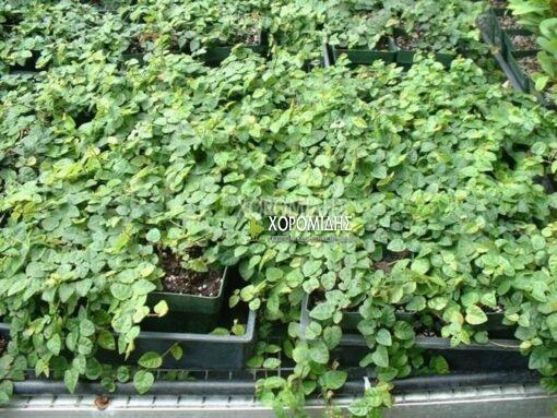 FICUS PUMILA REPENS(ΦΙΚΟΣ ΡΕΠΕΝΣ), Καρποφόρο δέντρο | Φυτώρια/Γεωπονικές Επιχειρήσεις Χορομίδης: γλάστρες, φυτά, καρποφόρα, αειθαλή, φυτοχώματα, λιπάσματα, εργαλεία και είδη κήπου | Horomidis Agronomic Corp. Flower pots, plants, garden utensils and supplies, evergreens, fruit trees, fertilizer, soil