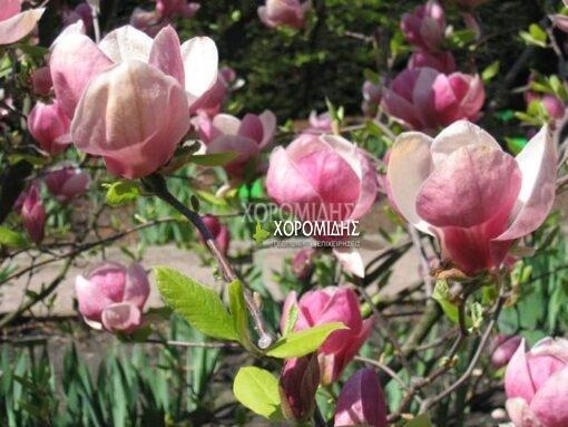 MAGNOLIA SOULANGEANA (ΜΑΓΝΟΛΙΑ ΣΟΥΛΑΝΤΖΙΑΝΑ), Καρποφόρο δέντρο | Φυτώρια/Γεωπονικές Επιχειρήσεις Χορομίδης: γλάστρες , φυτά, καρποφόρα, αειθαλή, φυτοχώματα, λιπάσματα, εργαλεία και είδη κήπου | Horomidis Agronomic Corp. Flower pots, plants, garden utensils and supplies, evergreens, fruit trees, fertilizer, soil