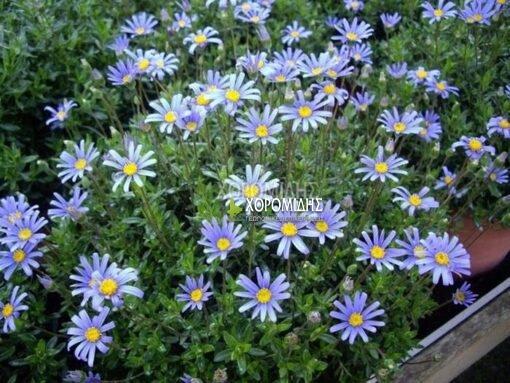 FELICIA AMELOIDES (ΦΕΛΙΤΣΙΑ) Ποώδη  Φυτώρια/Γεωπονικές Επιχειρήσεις Χορομίδης: γλάστρες, φυτά, καρποφόρα, αειθαλή, φυτοχώματα, λιπάσματα, εργαλεία και είδη κήπου   Horomidis Agronomic Corp. Flower pots, plants, garden utensils and supplies, evergreens, fruit trees, fertilizer, soil