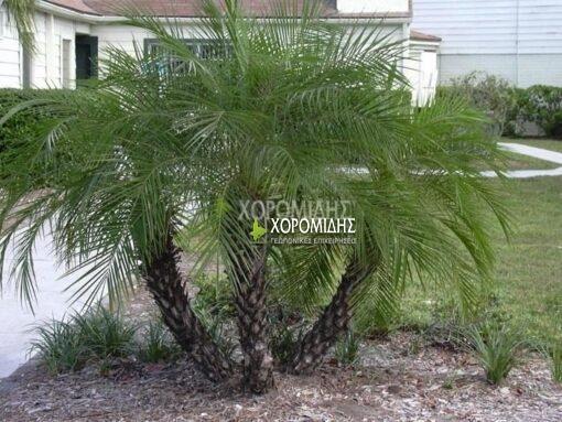 PHOENIX ROEBELENII (ΦΟΙΝΙΚΑΣ ΡΟΜΠΕΛΙΝΙ), Καρποφόρο δέντρο | Φυτώρια/Γεωπονικές Επιχειρήσεις Χορομίδης: γλάστρες, φυτά, καρποφόρα, αειθαλή, φυτοχώματα, λιπάσματα, εργαλεία και είδη κήπου | Horomidis Agronomic Corp. Flower pots, plants, garden utensils and supplies, evergreens, fruit trees, fertilizer, soil