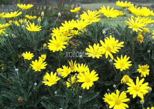 EYRIOPS PECTINATUS (ΜΑΡΓΑΡΙΤΑ) Ποώδη| Φυτώρια/Γεωπονικές Επιχειρήσεις Χορομίδης: γλάστρες, φυτά, καρποφόρα, αειθαλή, φυτοχώματα, λιπάσματα, εργαλεία και είδη κήπου | Horomidis Agronomic Corp. Flower pots, plants, garden utensils and supplies, evergreens, fruit trees, fertilizer, soil