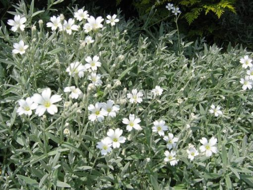 CERASTIUM TOMENTOSUM VAR. COLUMNAE (ΣΕΡΑΣΤΙΟ), Ποώδη  Φυτώρια/Γεωπονικές Επιχειρήσεις Χορομίδης: γλάστρες, φυτά, καρποφόρα, αειθαλή, φυτοχώματα, λιπάσματα, εργαλεία και είδη κήπου   Horomidis Agronomic Corp. Flower pots, plants, garden utensils and supplies, evergreens, fruit trees, fertilizer, soil