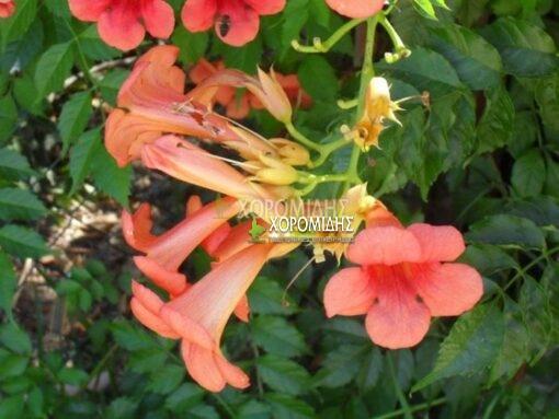 ΒIGNONIA GRANDIFLORA (ΜΠΙΓΚΟΝΙΑ ΜΕΓΑΝΘΕΙΣ), Καρποφόρο δέντρο | Φυτώρια/Γεωπονικές Επιχειρήσεις Χορομίδης: γλάστρες, φυτά, καρποφόρα, αειθαλή, φυτοχώματα, λιπάσματα, εργαλεία και είδη κήπου | Horomidis Agronomic Corp. Flower pots, plants, garden utensils and supplies, evergreens, fruit trees, fertilizer, soil