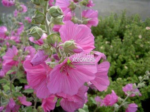 LAVATERA THURINGIACA ROSEA (ΛΑΒΑΤΕΡΑ) Ποώδη  Φυτώρια/Γεωπονικές Επιχειρήσεις Χορομίδης: γλάστρες, φυτά, καρποφόρα, αειθαλή, φυτοχώματα, λιπάσματα, εργαλεία και είδη κήπου   Horomidis Agronomic Corp. Flower pots, plants, garden utensils and supplies, evergreens, fruit trees, fertilizer, soil