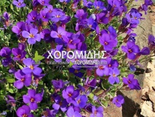 AUBRIETA HAMBURGER STADPARK (ΑΟΥΜΠΡΙΕΤΑ), Ποώδη| Φυτώρια/Γεωπονικές Επιχειρήσεις Χορομίδης: γλάστρες, φυτά, καρποφόρα, αειθαλή, φυτοχώματα, λιπάσματα, εργαλεία και είδη κήπου | Horomidis Agronomic Corp. Flower pots, plants, garden utensils and supplies, evergreens, fruit trees, fertilizer, soil