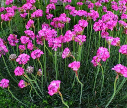 ARMERIA MARITIMA RUBRIFLORA (ΑΡΜΕΡΙΑ), Ποώδη| Φυτώρια/Γεωπονικές Επιχειρήσεις Χορομίδης: γλάστρες, φυτά, καρποφόρα, αειθαλή, φυτοχώματα, λιπάσματα, εργαλεία και είδη κήπου | Horomidis Agronomic Corp. Flower pots, plants, garden utensils and supplies, evergreens, fruit trees, fertilizer, soil