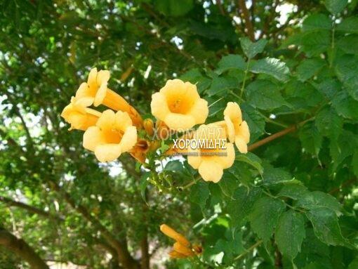 ΒIGNONIA RADICANS FLAVA (ΜΠΙΓΚΟΝΙΑ ΡΑΝΤΙΓΚΑΝΣ ΦΛΑΒΑ), Καρποφόρο δέντρο | Φυτώρια/Γεωπονικές Επιχειρήσεις Χορομίδης: γλάστρες, φυτά, καρποφόρα, αειθαλή, φυτοχώματα, λιπάσματα, εργαλεία και είδη κήπου | Horomidis Agronomic Corp. Flower pots, plants, garden utensils and supplies, evergreens, fruit trees, fertilizer, soil
