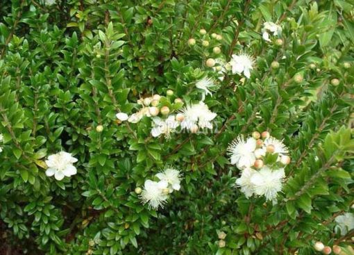 MYRTUS COMMUNIS TARENTINA (ΜΥΡΤΙΑ NANA) Αρωματικά | Φυτώρια /Γεωπονικές Επιχειρήσεις Χορομίδης: γλάστρες, φυτά , καρποφόρα, αειθαλή, φυτοχώματα, λιπάσματα, εργαλεία και είδη κήπου | Horomidis Agronomic Corp. Flower pots, plants, garden utensils and supplies, evergreens, fruit trees, fertilizer, soil