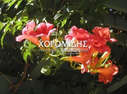 ΒIGNONIA MADAME GALEN (ΜΠΙΓΚΟΝΙΑ ΜΑΝΤΑΜ ΓΚΑΛΕΝ), Καρποφόρο δέντρο | Φυτώρια/Γεωπονικές Επιχειρήσεις Χορομίδης: γλάστρες, φυτά, καρποφόρα, αειθαλή, φυτοχώματα, λιπάσματα, εργαλεία και είδη κήπου | Horomidis Agronomic Corp. Flower pots, plants, garden utensils and supplies, evergreens, fruit trees, fertilizer, soil