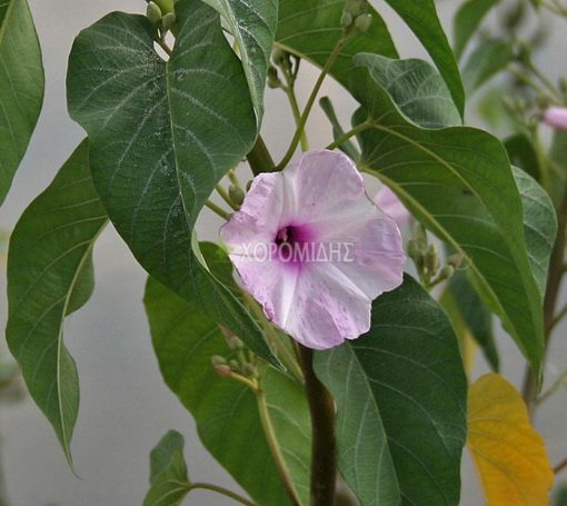 IPOMOEA CARNEA (ΙΠΟΜΟΙΑ), Καρποφόρο δέντρο | Φυτώρια/Γεωπονικές Επιχειρήσεις Χορομίδης: γλάστρες, φυτά, καρποφόρα, αειθαλή, φυτοχώματα, λιπάσματα, εργαλεία και είδη κήπου | Horomidis Agronomic Corp. Flower pots, plants, garden utensils and supplies, evergreens, fruit trees, fertilizer, soil