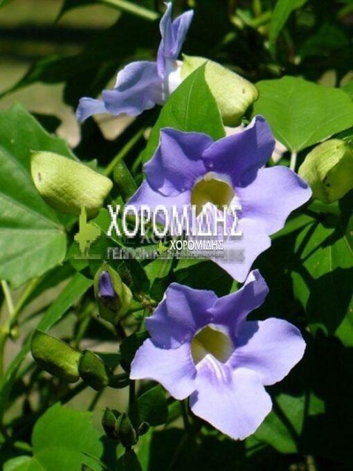 THUNBERGIA GRANDIFLORA(ΘΟΥΜΠΕΡΓΚΙΑ), Καρποφόρο δέντρο | Φυτώρια/Γεωπονικές Επιχειρήσεις Χορομίδης: γλάστρες, φυτά, καρποφόρα, αειθαλή, φυτοχώματα, λιπάσματα, εργαλεία και είδη κήπου | Horomidis Agronomic Corp. Flower pots, plants, garden utensils and supplies, evergreens, fruit trees, fertilizer, soil