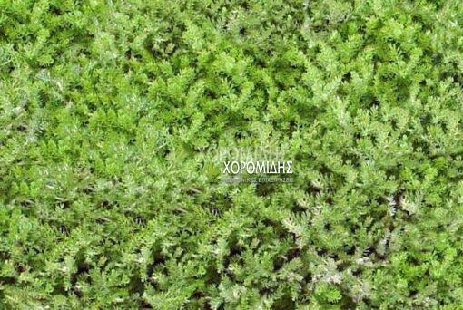CHAMAEMELUM NOBILE TRENEAGUE (ΧΑΜΕΜΕΛΟ), Ποώδη  Φυτώρια/Γεωπονικές Επιχειρήσεις Χορομίδης: γλάστρες, φυτά, καρποφόρα, αειθαλή, φυτοχώματα, λιπάσματα, εργαλεία και είδη κήπου   Horomidis Agronomic Corp. Flower pots, plants, garden utensils and supplies, evergreens, fruit trees, fertilizer, soil