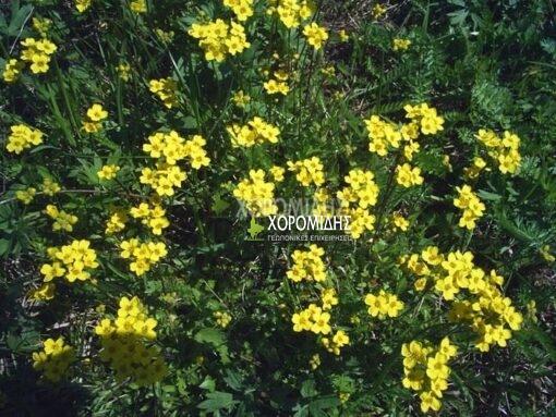 DRABA SIBIRICA (ΔΡΑΒΑ), Ποώδη| Φυτώρια/Γεωπονικές Επιχειρήσεις Χορομίδης: γλάστρες, φυτά, καρποφόρα, αειθαλή, φυτοχώματα, λιπάσματα, εργαλεία και είδη κήπου | Horomidis Agronomic Corp. Flower pots, plants, garden utensils and supplies, evergreens, fruit trees, fertilizer, soil