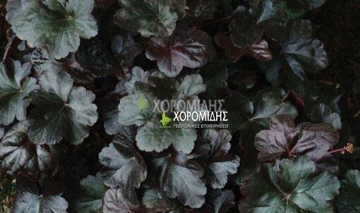 HEUCHERA OBSIDIAN (ΕΟΥΧΕΡΑ) Ποώδη| Φυτώρια/Γεωπονικές Επιχειρήσεις Χορομίδης: γλάστρες, φυτά, καρποφόρα, αειθαλή, φυτοχώματα, λιπάσματα, εργαλεία και είδη κήπου | Horomidis Agronomic Corp. Flower pots, plants, garden utensils and supplies, evergreens, fruit trees, fertilizer, soil