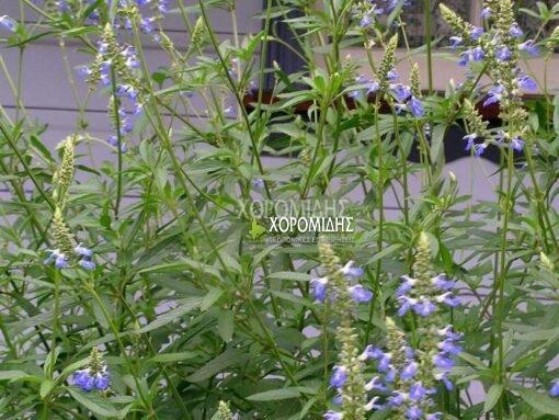 SALVIA ULIGINOSA (ΣΑΛΒΙΑ) Ποώδη| Φυτώρια/Γεωπονικές Επιχειρήσεις Χορομίδης: γλάστρες, φυτά, καρποφόρα, αειθαλή, φυτοχώματα, λιπάσματα, εργαλεία και είδη κήπου | Horomidis Agronomic Corp. Flower pots, plants, garden utensils and supplies, evergreens, fruit trees, fertilizer, soil