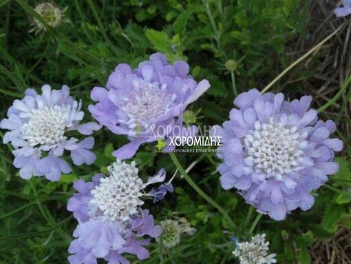 SCABIOSA COLUMBARIA NANA (ΣΚΑΜΠΙΟΖΑ) Ποώδη| Φυτώρια/Γεωπονικές Επιχειρήσεις Χορομίδης: γλάστρες, φυτά, καρποφόρα, αειθαλή, φυτοχώματα, λιπάσματα, εργαλεία και είδη κήπου | Horomidis Agronomic Corp. Flower pots, plants, garden utensils and supplies, evergreens, fruit trees, fertilizer, soil