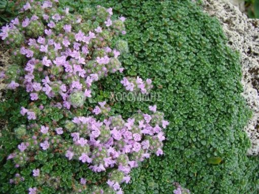 THYMUS PRAECOX MINOR (ΘΥΜΑΡΙ ΕΡΠΩΝ) Αρωματικά | Φυτώρια /Γεωπονικές Επιχειρήσεις Χορομίδης: γλάστρες, φυτά , καρποφόρα, αειθαλή, φυτοχώματα, λιπάσματα, εργαλεία και είδη κήπου | Horomidis Agronomic Corp. Flower pots, plants, garden utensils and supplies, evergreens, fruit trees, fertilizer, soil