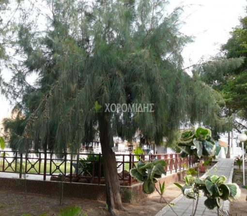 CASUARINA EQUISETIFOLIA (ΚΑΖΟΥΑΡΙΝΑ) Αειθαλή καλλωπιστικά δένδρα  Φυτώρια/Γεωπονικές Επιχειρήσεις Χορομίδης: γλάστρες, φυτά, καρποφόρα, αειθαλή, φυτοχώματα, λιπάσματα, εργαλεία και είδη κήπου   Horomidis Agronomic Corp. Flower pots, plants, garden utensils and supplies, evergreens, fruit trees, fertilizer, soil