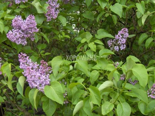 SYRINGA VULGARIS (ΠΑΣΧΑΛΙΑ), Καρποφόρο δέντρο | Φυτώρια/Γεωπονικές Επιχειρήσεις Χορομίδης: γλάστρες , φυτά, καρποφόρα, αειθαλή, φυτοχώματα, λιπάσματα, εργαλεία και είδη κήπου | Horomidis Agronomic Corp. Flower pots, plants, garden utensils and supplies, evergreens, fruit trees, fertilizer, soil
