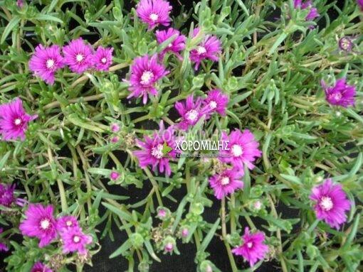 DELOSPERMA COOPERI (ΜΕΣΗΜΒΡΙΑΝΘΕΜΟ), Ποώδη| Φυτώρια/Γεωπονικές Επιχειρήσεις Χορομίδης: γλάστρες, φυτά, καρποφόρα, αειθαλή, φυτοχώματα, λιπάσματα, εργαλεία και είδη κήπου | Horomidis Agronomic Corp. Flower pots, plants, garden utensils and supplies, evergreens, fruit trees, fertilizer, soil