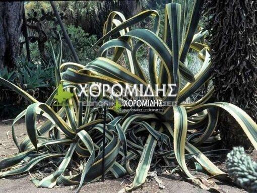 AGAVE ATTENUATA (ΑΘΑΝΑΤΟΣ Η ΑΓΑΥΗ), Καρποφόρο δέντρο | Φυτώρια/Γεωπονικές Επιχειρήσεις Χορομίδης: γλάστρες, φυτά, καρποφόρα, αειθαλή, φυτοχώματα, λιπάσματα, εργαλεία και είδη κήπου | Horomidis Agronomic Corp. Flower pots, plants, garden utensils and supplies, evergreens, fruit trees, fertilizer, soil