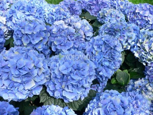HYDRANGEA SP (ΟΡΤΑΝΣΙΑ), Καρποφόρο δέντρο | Φυτώρια/Γεωπονικές Επιχειρήσεις Χορομίδης: γλάστρες , φυτά, καρποφόρα, αειθαλή, φυτοχώματα, λιπάσματα, εργαλεία και είδη κήπου | Horomidis Agronomic Corp. Flower pots, plants, garden utensils and supplies, evergreens, fruit trees, fertilizer, soil