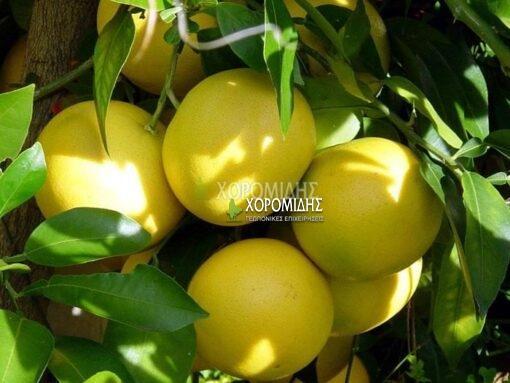 CITRUS PARADISI (ΓΚΡΕΪΠΦΡΟΥΤ), Καρποφόρο δέντρο | Φυτώρια/Γεωπονικές Επιχειρήσεις Χορομίδης: γλάστρες, φυτά, καρποφόρα, αειθαλή, φυτοχώματα, λιπάσματα, εργαλεία και είδη κήπου | Horomidis Agronomic Corp. Flower pots, plants, garden utensils and supplies, evergreens, fruit trees, fertilizer, soil