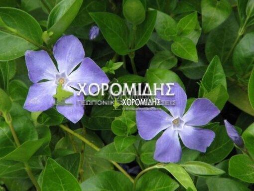 VINCA MAJOR (ΒΙΓΚΑ) Ποώδη  Φυτώρια/Γεωπονικές Επιχειρήσεις Χορομίδης: γλάστρες, φυτά, καρποφόρα, αειθαλή, φυτοχώματα, λιπάσματα, εργαλεία και είδη κήπου   Horomidis Agronomic Corp. Flower pots, plants, garden utensils and supplies, evergreens, fruit trees, fertilizer, soil