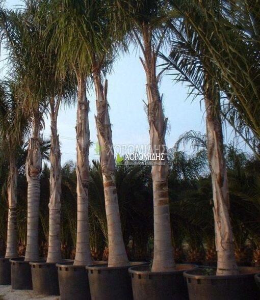 ARECASTRUM ROMANZOFFIANUM (ΑΡΕΚΑΣΤΡΟΥΜ Η ΚΟΚΟΦΟΙΝΙΚΑΣ), Καρποφόρο δέντρο | Φυτώρια/Γεωπονικές Επιχειρήσεις Χορομίδης: γλάστρες, φυτά, καρποφόρα, αειθαλή, φυτοχώματα, λιπάσματα, εργαλεία και είδη κήπου | Horomidis Agronomic Corp. Flower pots, plants, garden utensils and supplies, evergreens, fruit trees, fertilizer, soil