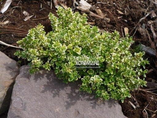 THYMUS CITRIODORUS VARIEGATUS (ΛΕΜΟΝΟΘΥΜΑΡΟ ΠΑΝΑΣΕ) Αρωματικά | Φυτώρια /Γεωπονικές Επιχειρήσεις Χορομίδης: γλάστρες, φυτά , καρποφόρα, αειθαλή, φυτοχώματα, λιπάσματα, εργαλεία και είδη κήπου | Horomidis Agronomic Corp. Flower pots, plants, garden utensils and supplies, evergreens, fruit trees, fertilizer, soil