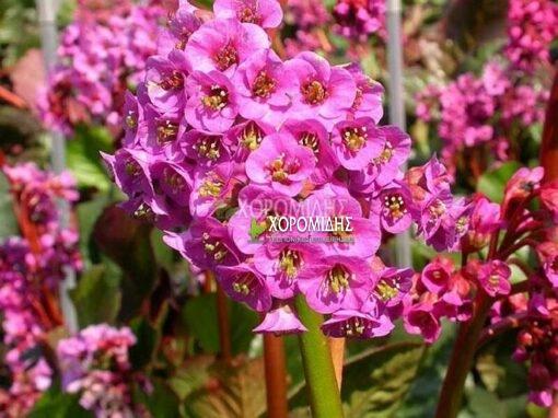 BERGENIA ROTBLUM (ΜΠΕΡΓΚΕΝΙΑ), Ποώδη| Φυτώρια/Γεωπονικές Επιχειρήσεις Χορομίδης: γλάστρες, φυτά, καρποφόρα, αειθαλή, φυτοχώματα, λιπάσματα, εργαλεία και είδη κήπου | Horomidis Agronomic Corp. Flower pots, plants, garden utensils and supplies, evergreens, fruit trees, fertilizer, soil