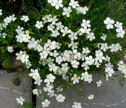 DIANTHUS DELTOIDES ALBUS (ΓΑΡΥΦΑΛΛΟ), Ποώδη| Φυτώρια/Γεωπονικές Επιχειρήσεις Χορομίδης: γλάστρες, φυτά, καρποφόρα, αειθαλή, φυτοχώματα, λιπάσματα, εργαλεία και είδη κήπου | Horomidis Agronomic Corp. Flower pots, plants, garden utensils and supplies, evergreens, fruit trees, fertilizer, soil